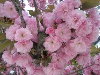 某所の八重桜