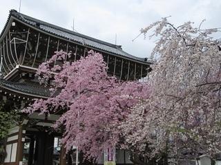 東別院の桜-2016-
