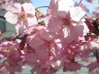 吉良温泉の桜-2017-
