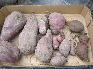 紫芋と安納芋