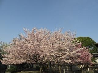 東別院の桜-2018-