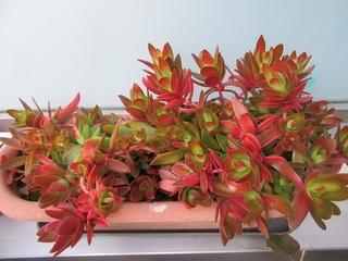 紅葉する多肉植物