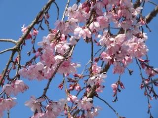 東別院の桜−2020−