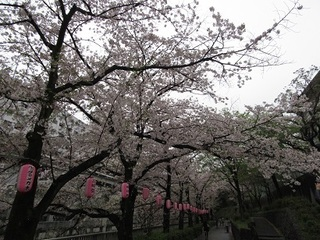 神田川の桜-2017-