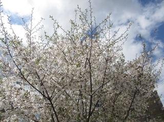 某公園の桜−2019−